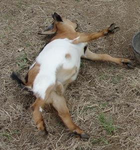 Liberty Hill Farms Fainting Goats